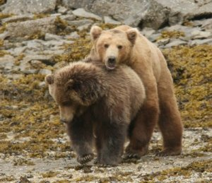 Ursii cand fac sex distrug Mariselul