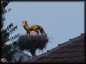 cuib de vulpe
