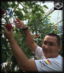 Ponta-culege rosii cu unghiera